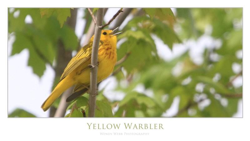 yellow warbler b