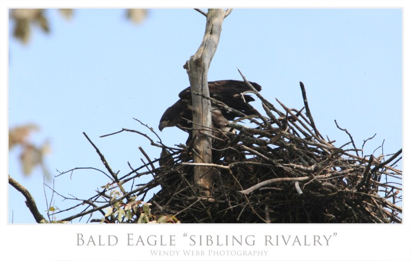 bald eagle chick 3