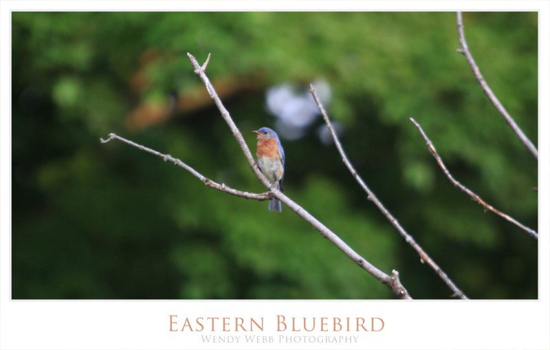 eastern blue bird 1