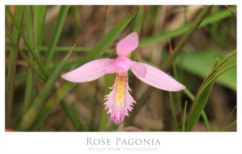 rose pagonia