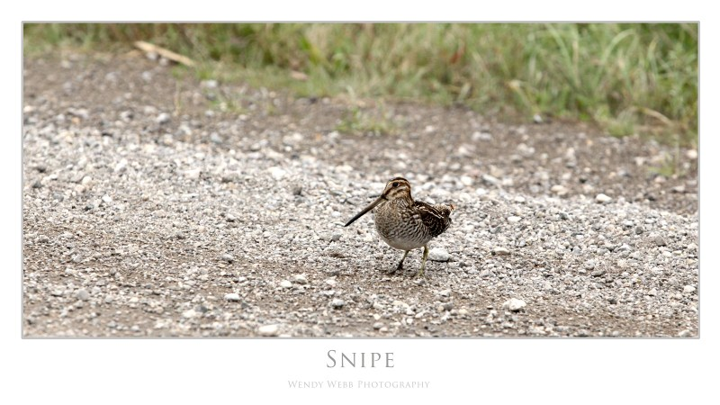 snipe on the road