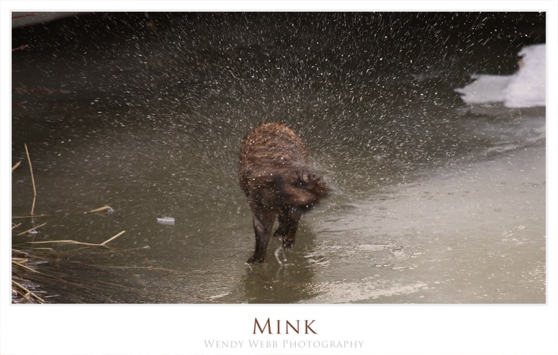 Shaking it off Mink style