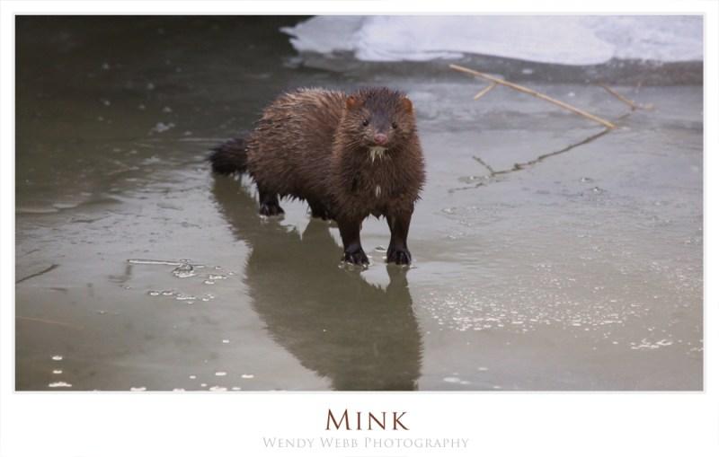 Mink, nice camera!