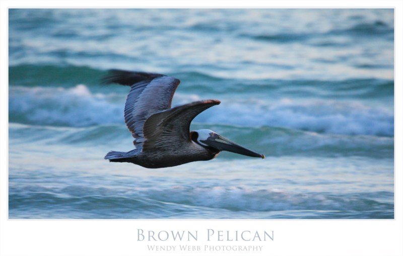 brown pelican4