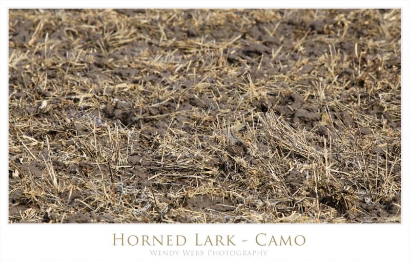 horned lark 1