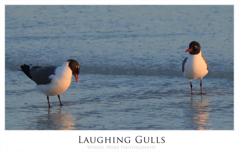laughing gulls 1