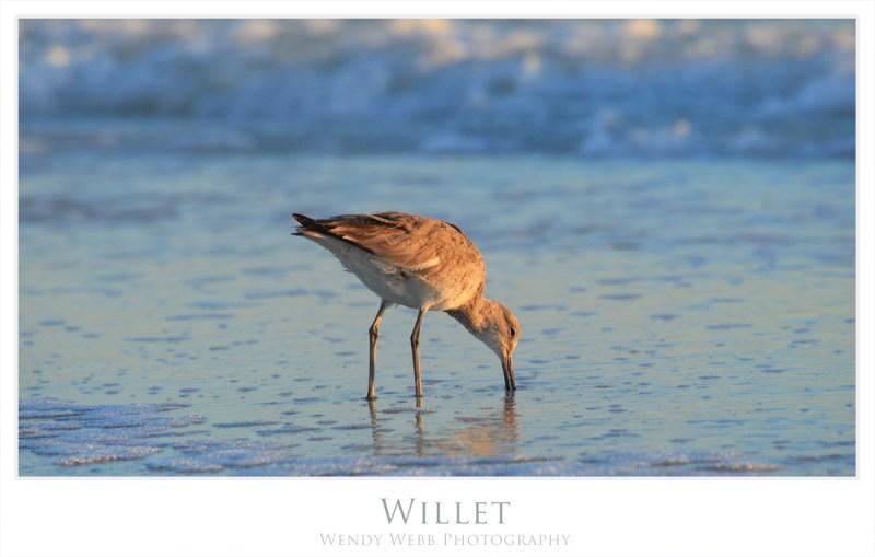 willet 2