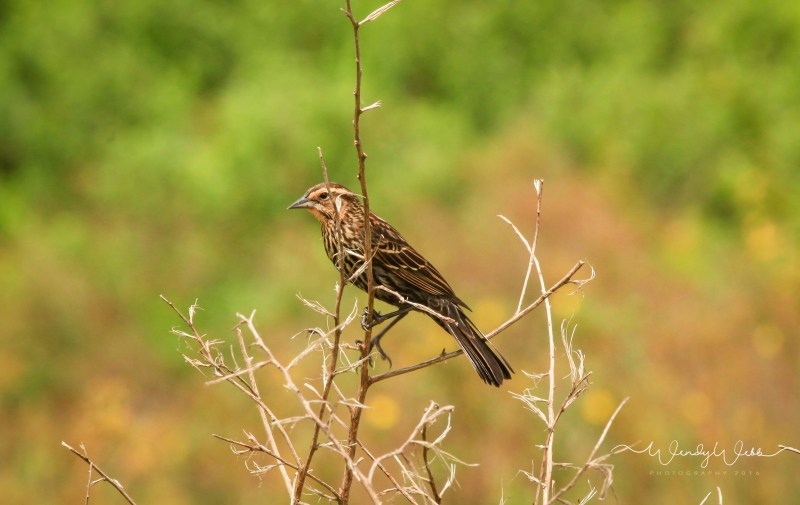 Red Winged Blackbird 3