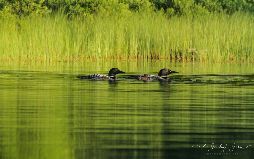A Pair of Loons and a little surprise!
