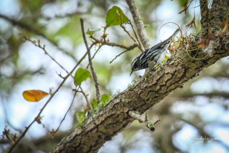 Black and White Warbler -1001