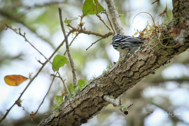 Black and White Warbler -1002