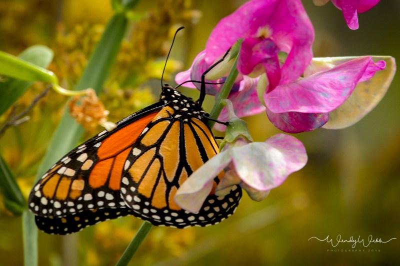 Monarch_-4
