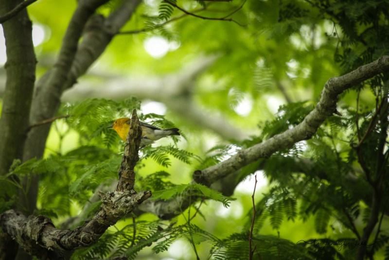Prothonatory Warbler 08