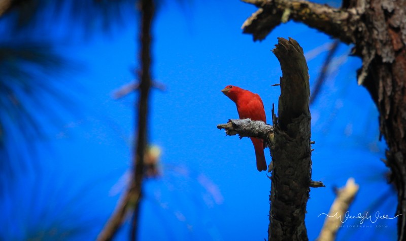 Summer Tanager17