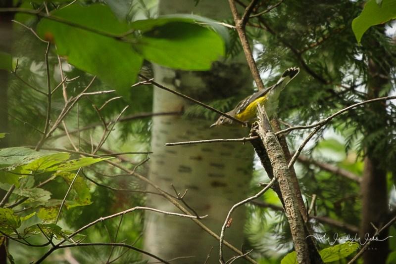 Warbler, Magnolia_-2