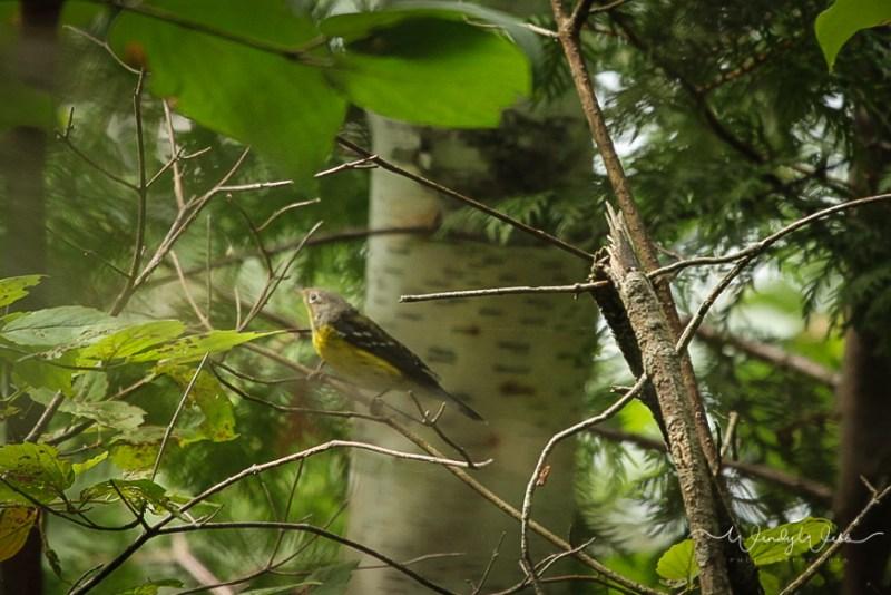 Warbler, Magnolia_-3