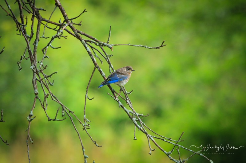 blue Bird in apple tree - 1