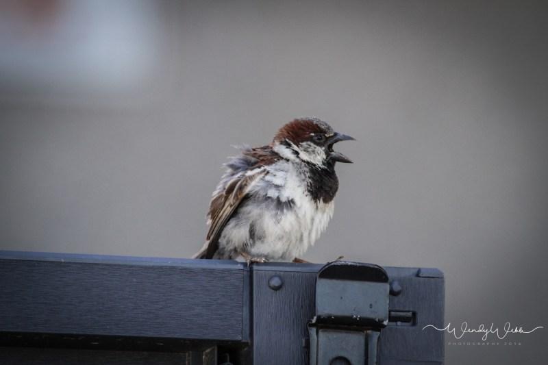 house sparrow - 3
