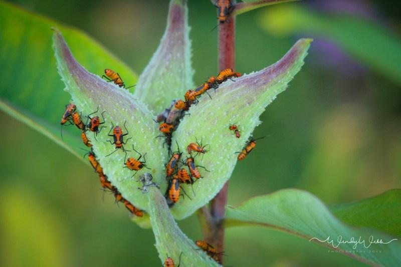 milk weed bugs-2