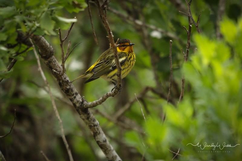 warbler in bush11