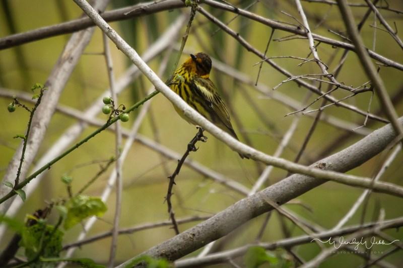 warbler in bush12