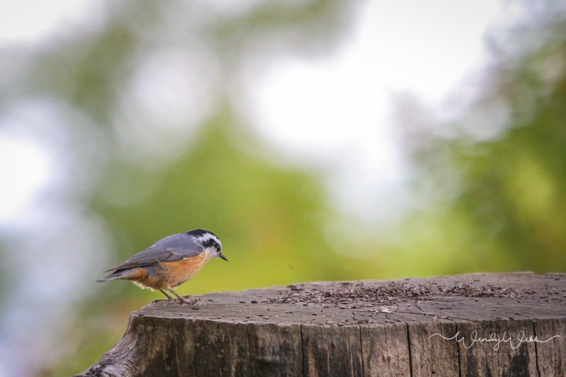 red-breasted-nuthatch-2