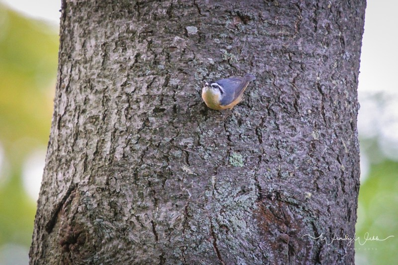 red-breasted-nuthatch-8