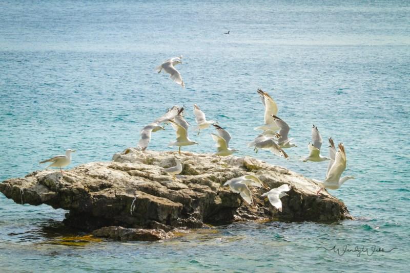 ring-billed-gulls-1