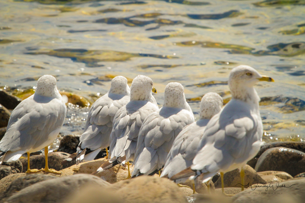 Ring Billed Gulls #175