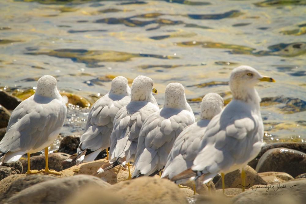 Ring Billed Gulls #175