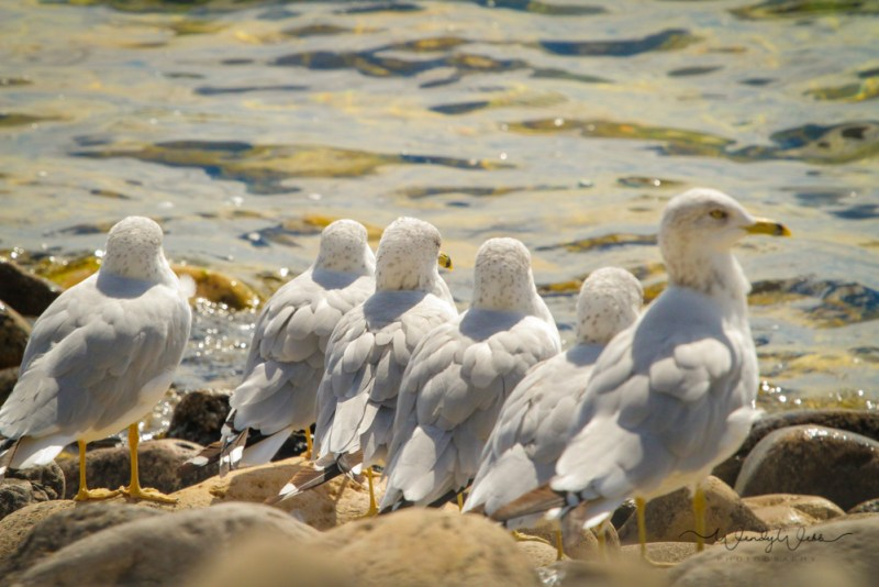 ring-billed-gulls-2