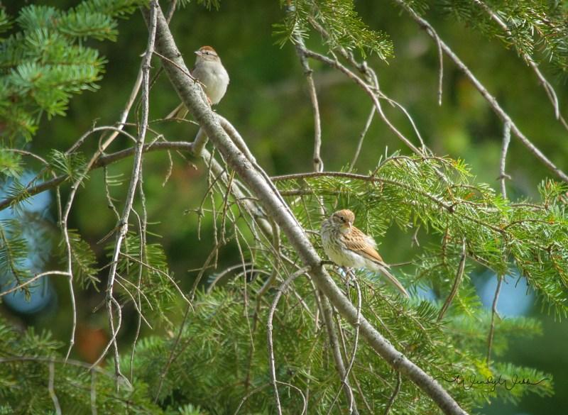 tree-sparrows-2