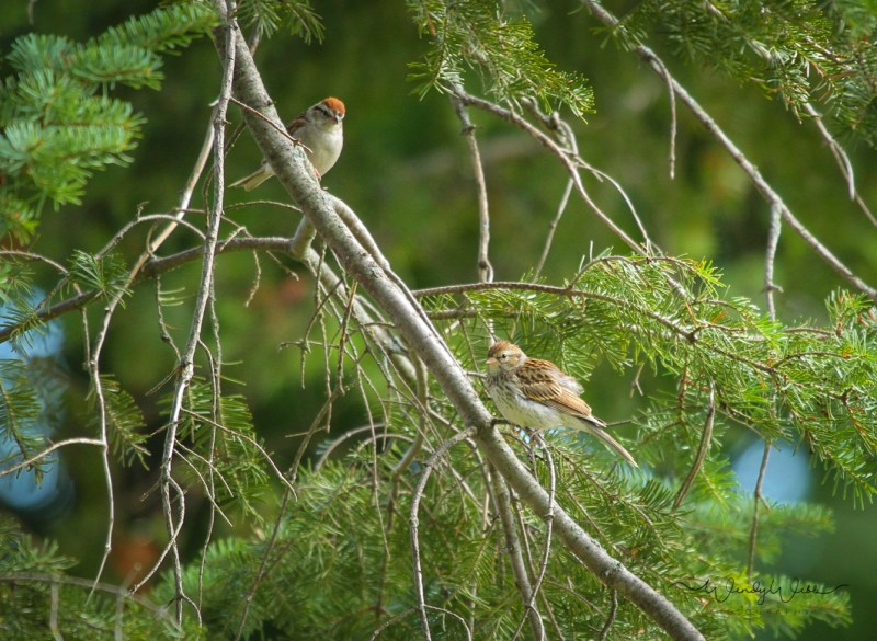 tree-sparrow-1