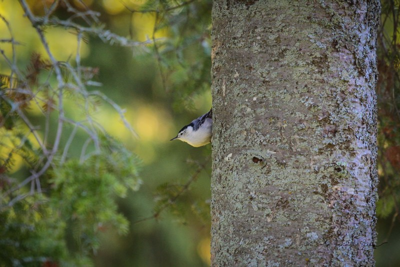 white-breasted-nuthatch-6