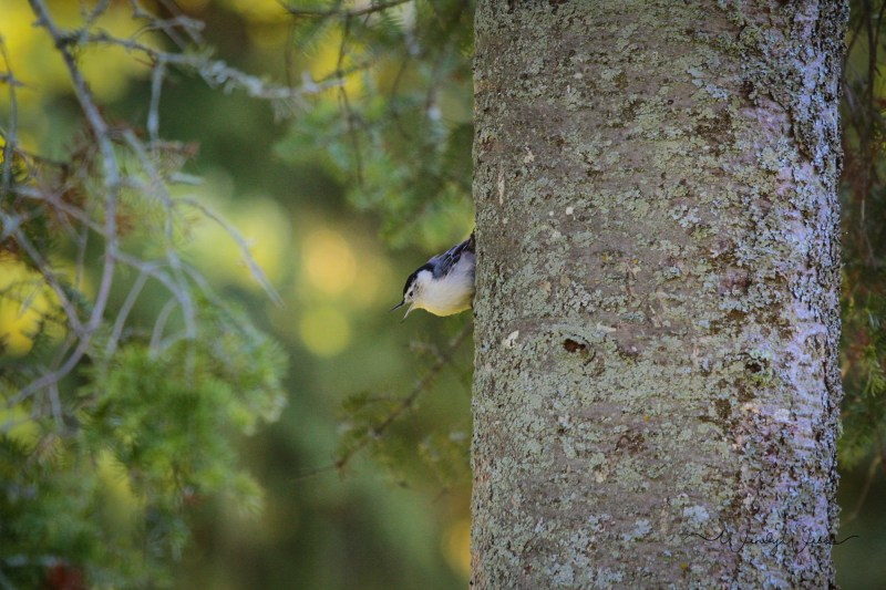 white-breasted-nuthatch-7