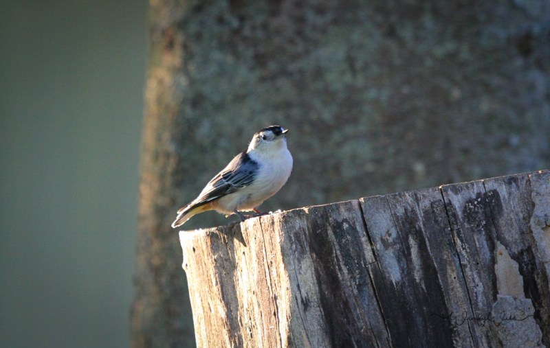white-breasted-nuthatch-8