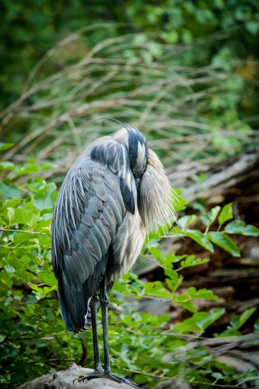 blue-heron-11