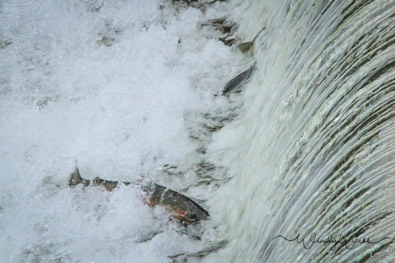 chinook-salmon-1
