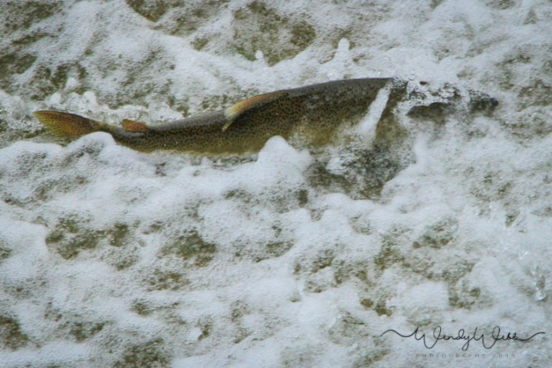 chinook-salmon-4