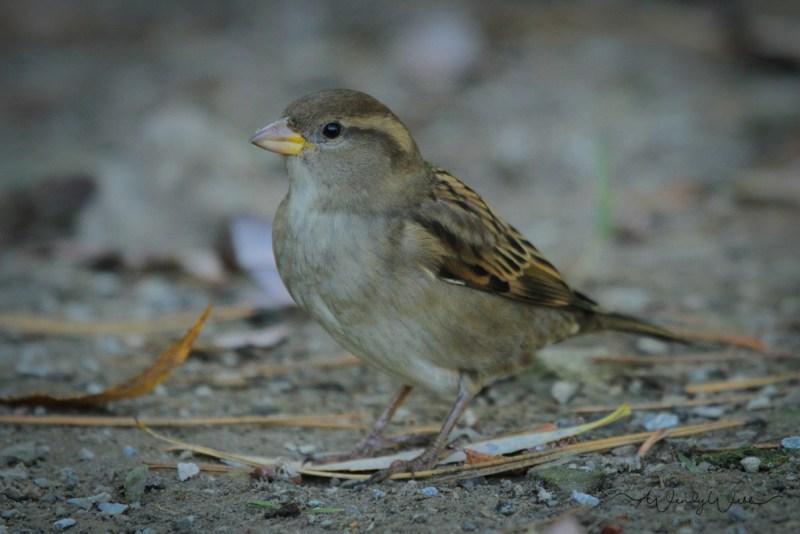 house-sparrow-12