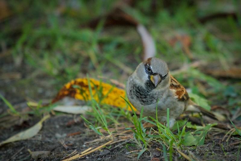 house-sparrow-4