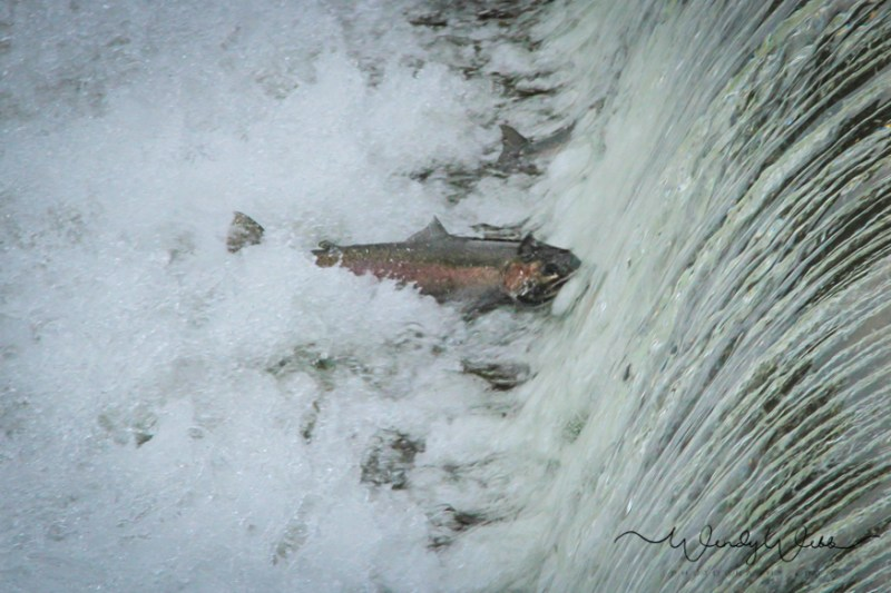 rainbow-trout-5