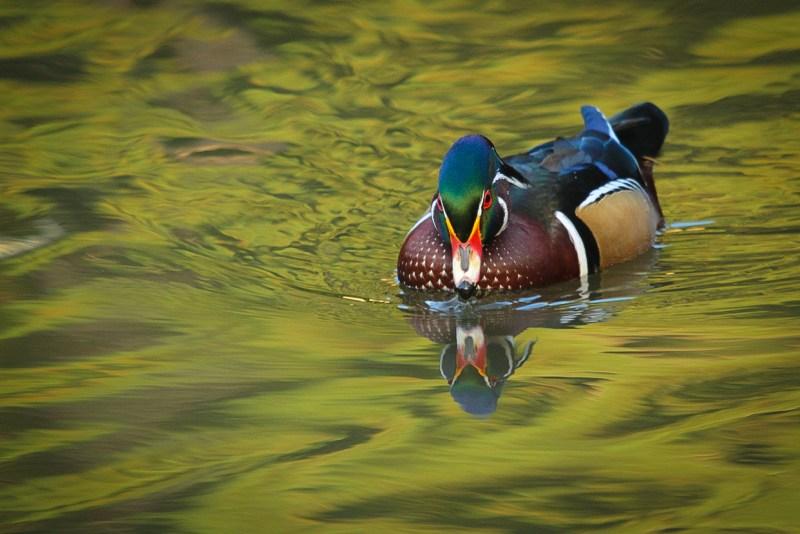 wood-duck-6
