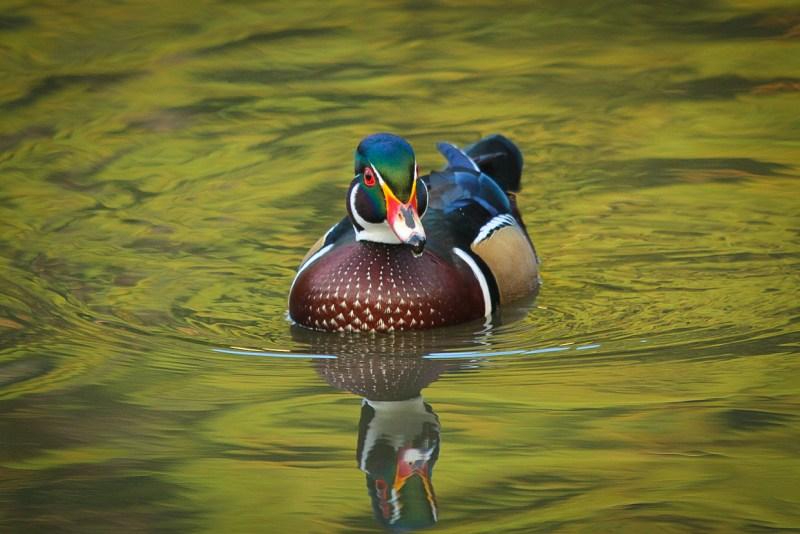 wood-duck-7