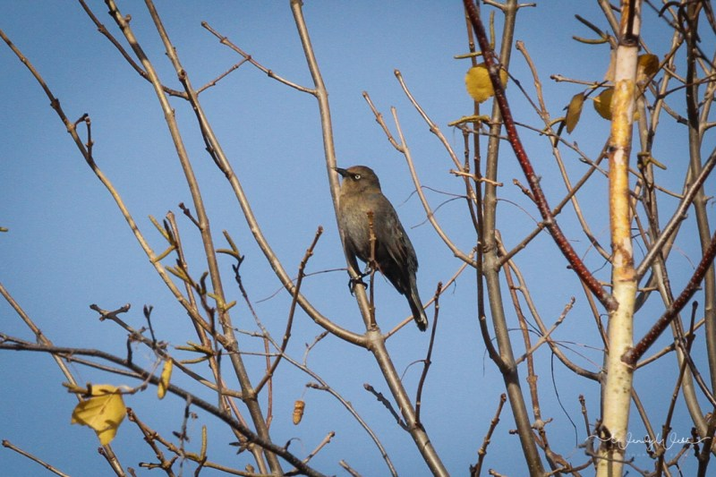 rusty-blackbird-102