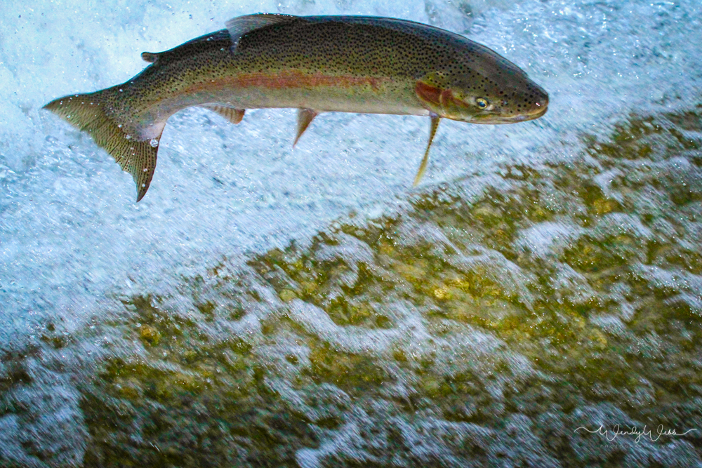 Slabtown Dam – spawning run of Trout and Salmon