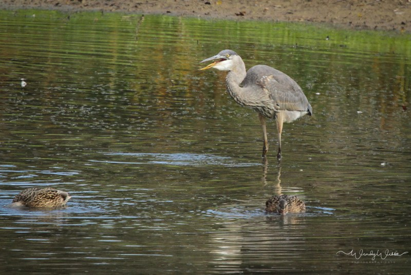 heron-fishing-104