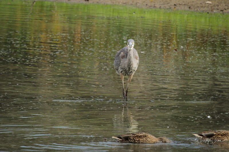 heron-fishing-105