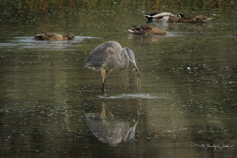 heron-fishing-107