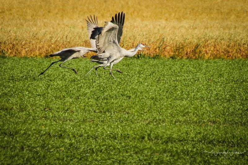 sandhill-flock-102